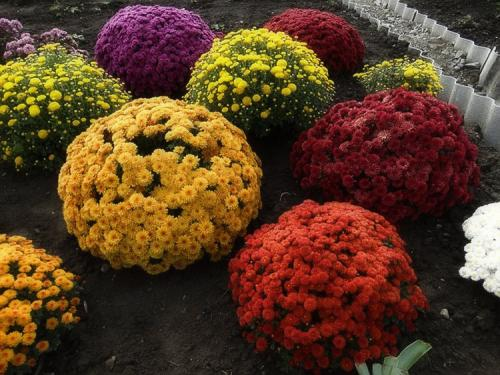 Хризантема мультифлора в сибири. Выращивание хризантем мультифлора: правила посадки и ухода