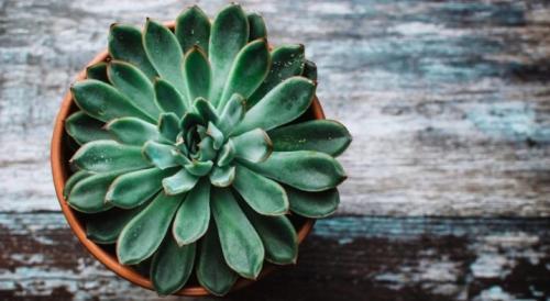 Растение  5 echeveria agavoides. Эхеверия: описание, уход и размножение в домашних условиях