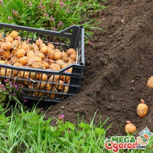 Выращивание картофеля пользуется успехом с давних времён. Традиционные методы: гладкая посадка, гребневая, в траншею
