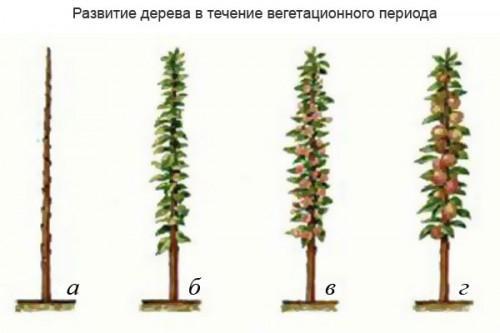 Как обрезать колоновидную яблоню весной. обрезки колоновидных яблонь весной