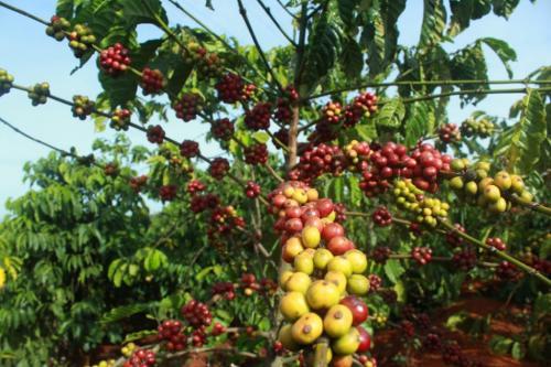 Выращивание кофейного дерева в домашних условиях. Общее описание