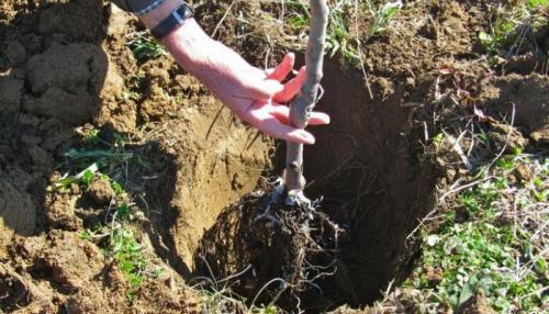 Как правильно посадить саженцы яблони и груши весной. Как сажать саженцы яблони и груши в саду (с видео)